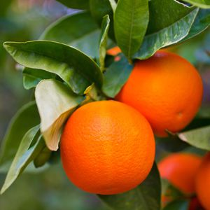TREE CITRUS- DWARF WASHINGTON NAVEL - Garden Express