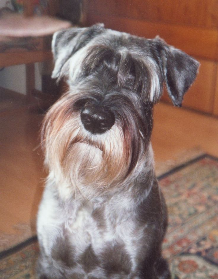 White miniature schnauzer wikipedia