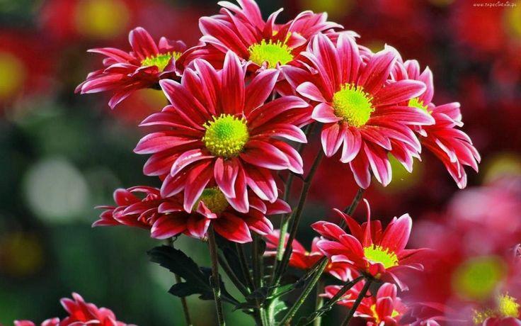Kwiaty, Chryzantema