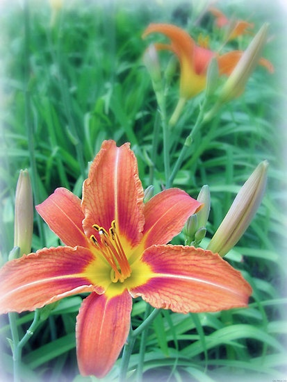 Beautiful Orange Wildflowers. These perennials grow wild ...