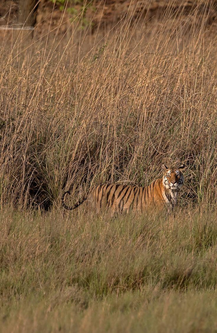Bandhavgarh 035 - An adult Bengal tigress - Bandhavgarh, India…