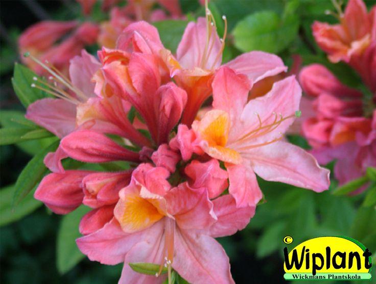Rhododendron 'Adalmina', Azalea. Höjd: 1-1,2 m. Zon III.