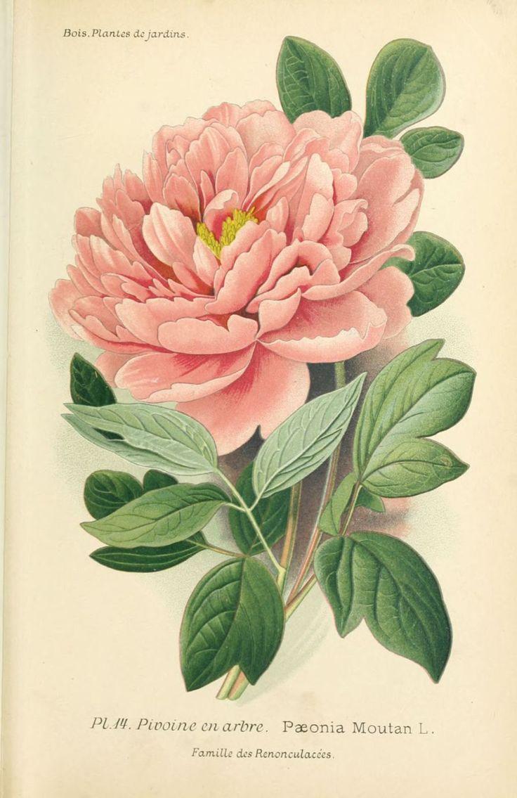 gravures fleurs de jardin - gravure de fleur de jardin 0037 pivoine en arbre - paeonia moutan - Gravures, illustrations, dessins, images