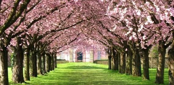 How To Grow And Care For Cherry Blossom Trees Home Garden Ideas Blossom Trees Cherry Blossom Tree Dream Backyard Garden