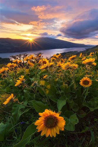 Sunflowers, mountains, river, and that time of day to drink tea and sunbathe and relax...mhmm.