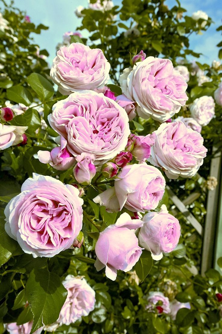 1728 best images about roses pinks magenta on pinterest jacques cartier damasks and shrubs. Black Bedroom Furniture Sets. Home Design Ideas