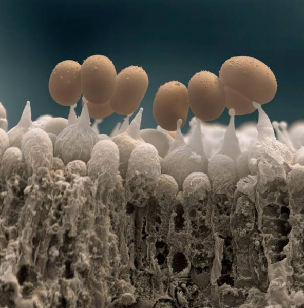Mushrooms spores scanned with electron microscope.