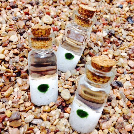 Marimo Moss Balls living treasure! northwestkombucha.com