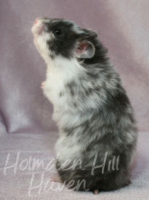 Happy- Black Dominant Spot Longhaired Syrian Hamster