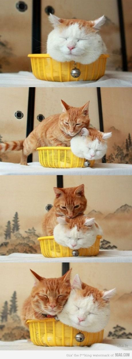 """My boy cat was like the orange one. Here's the girl cat, chillin, and along comes the boy cat all """"IMMA SIT WIT YOU!!!"""""""