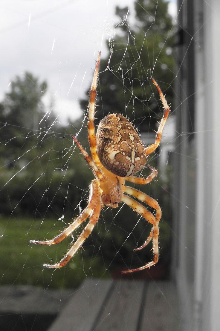 Araneus diadematus (Cross Orbweaver) Pictures and Spider Identification