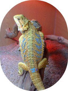 bearded dragon citrus rainbow tiger leatherback - Google Search