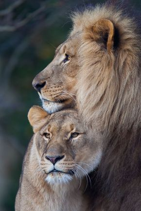 The Best Lioness Images Ideas On Pinterest Lion Pictures - Photographer captures angry lion before attack