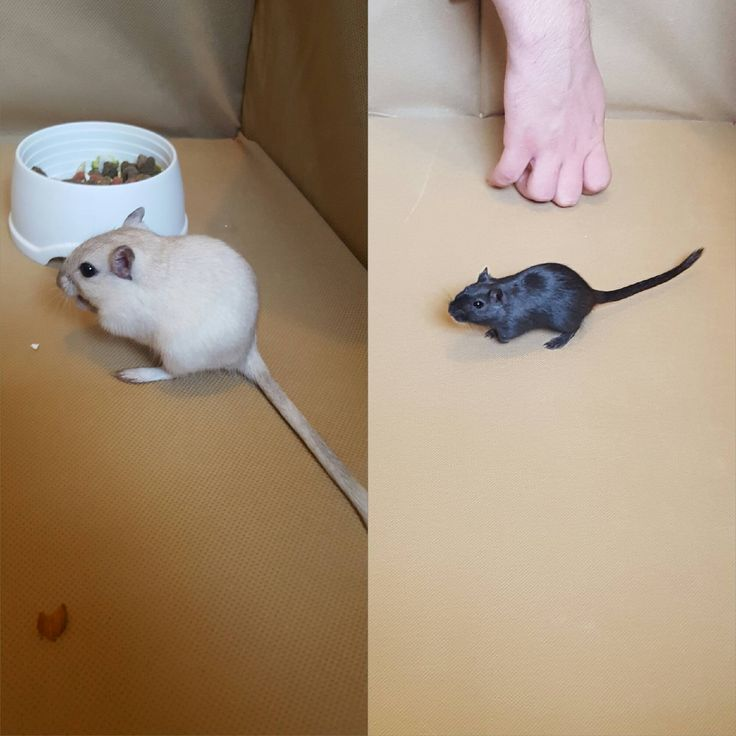 My sons first ever pets 2 female gerbils which he named Betsie (left) and fireman Sam (right) http://ift.tt/2chl3vF