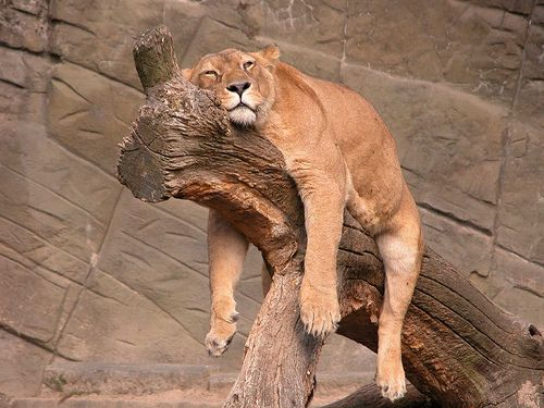 """""""I'm just here to listen""""  lazy lion 