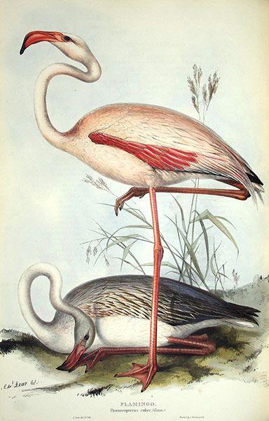 Edward Lear: Flamingo by Edward Lear