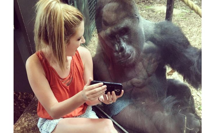 On a recent trip to the Louisville Zoo in Kentucky, Lindsey Costello was drawn to a male gorilla named Jelani who was watching videos with the zoo's Assistant Mammal Curator, Jill Katka. Costello then did the same, and much to her delight, Jelani was sincerely interested in the gorilla videos she shared with him.