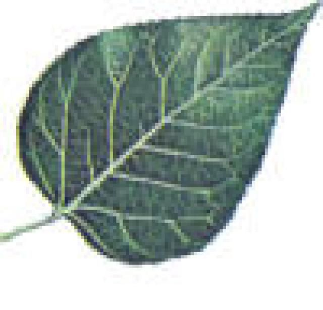 Easily Identify Trees Using a Tree Leaf Key: Trees With Leaves
