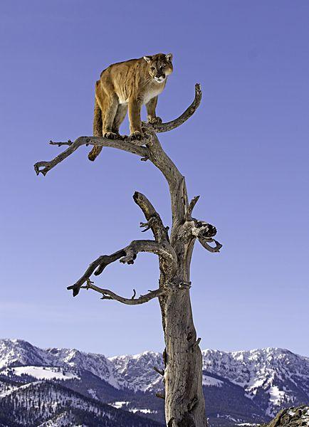 Mountain Lion, Felis concolor up a treebyVince Burton