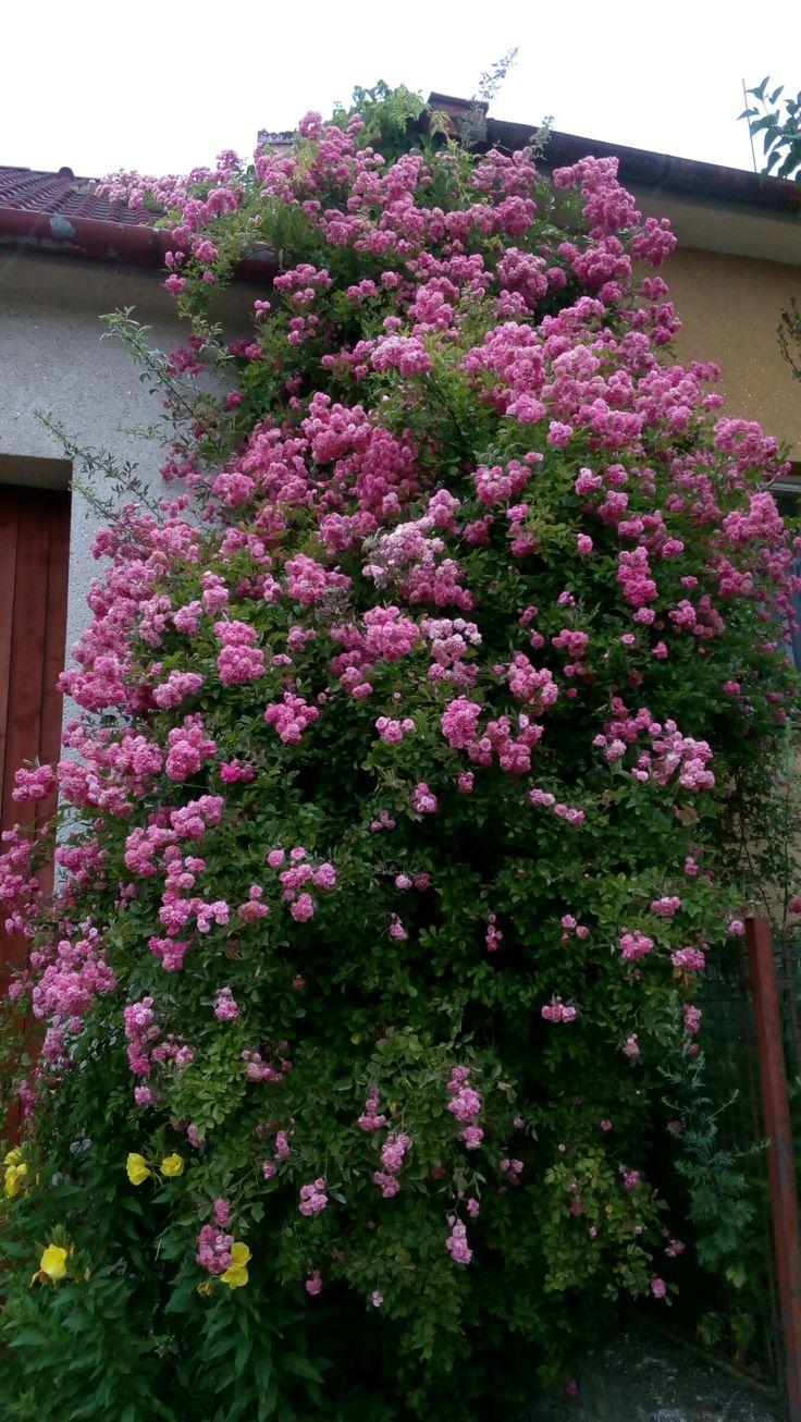 Růžovy tok