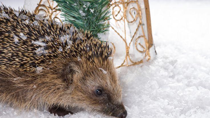 Aineettomat lahjat ovat nostaneet suosiotaan. Suomen luonnonsuojeluliiton eläinaiheiset lahjoituslahjat kirvoittavat hymyn niin antajan kuin vastaanottajankin huulille. Suomen luonnonsuojeluliiton aineettomat joululahjat on nimetty kekseliäästi lahjoituskohteiden mukaan. Esimerkiksi ilmastonsuojelua tukemalla voi lahjoittaa metsäjänikselle lunta. Siilille pihakaverin lahjoittava tukee ympäristökasvatusta ja lähiluonnon suojelua. Aineettomien lahjojen suosio on kasvanut…
