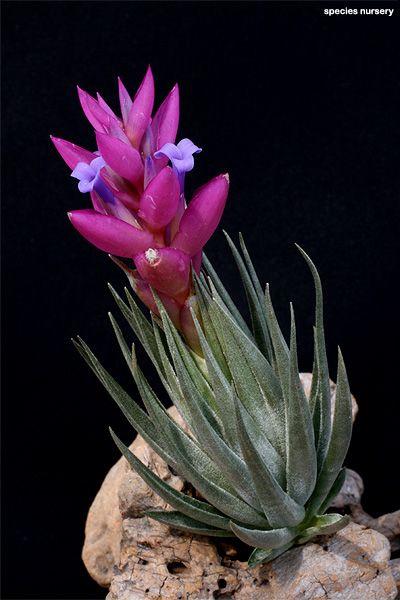 Tillandsia carminea ✴ airplant ♥ airplants