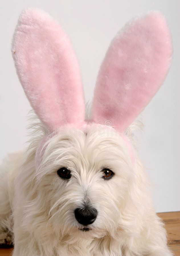 Westie Bunny West Highland Terrier Dog Wearing A Pair Of Pink Easter Bunny Ears Sponsored Highland Terrier Westies Cozy Dog West Highland White Terrier