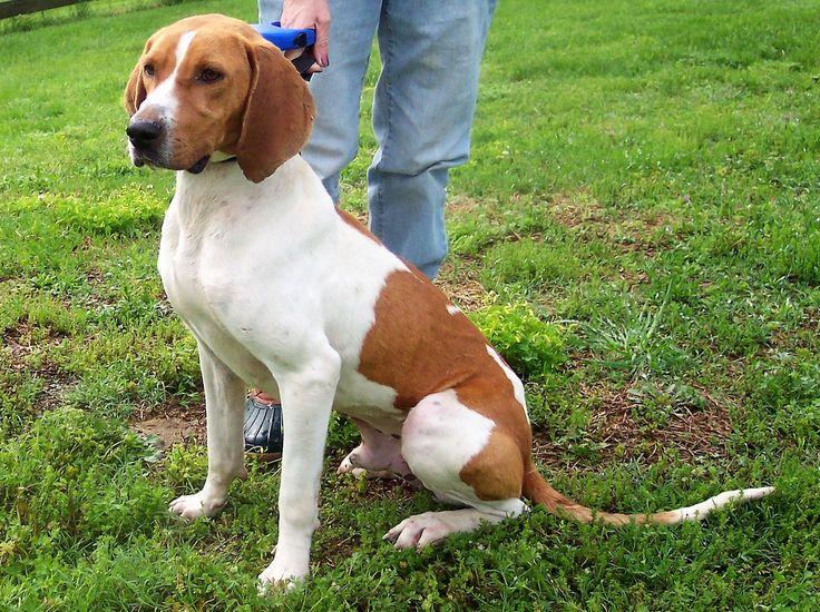 Treeing Walker Coonhound dog for Adoption in Paris, ME