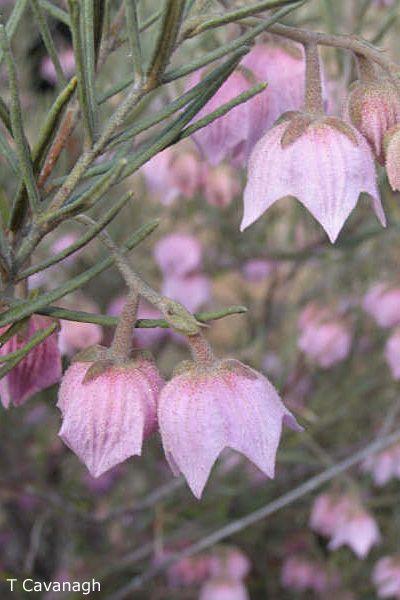 Guichenotia macrantha