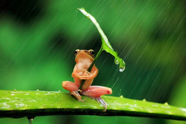 Heatwave is over: While millions of Brits swap sun hats for brollies this resourceful frog was snapped sheltering from the rain, using a leaf as an umbrella, on July 24, 2013. (Photo by Penkdix Palme/Newsteam/SWNS)