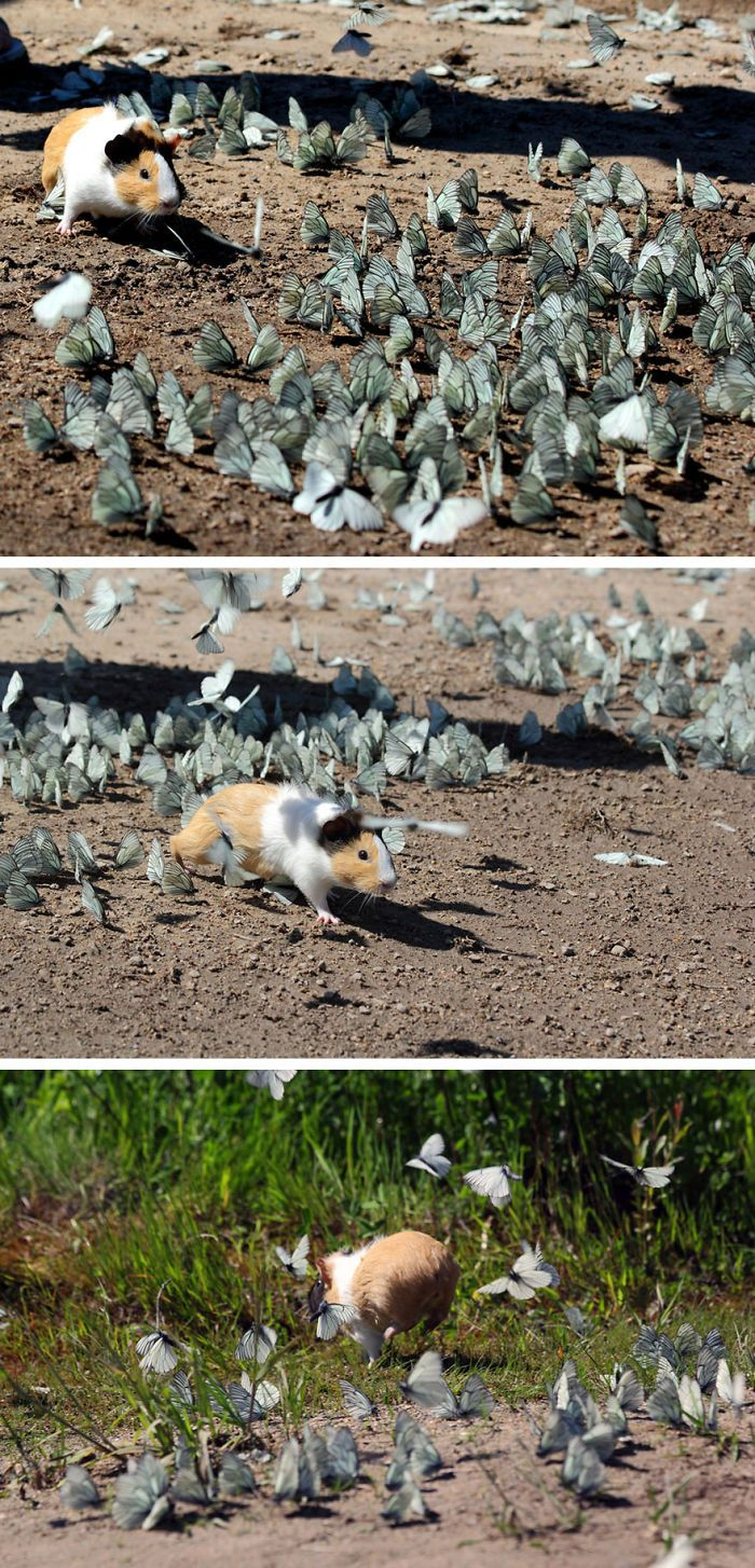 Wild Guinea Pig Playing With Butterflies | Bored Panda