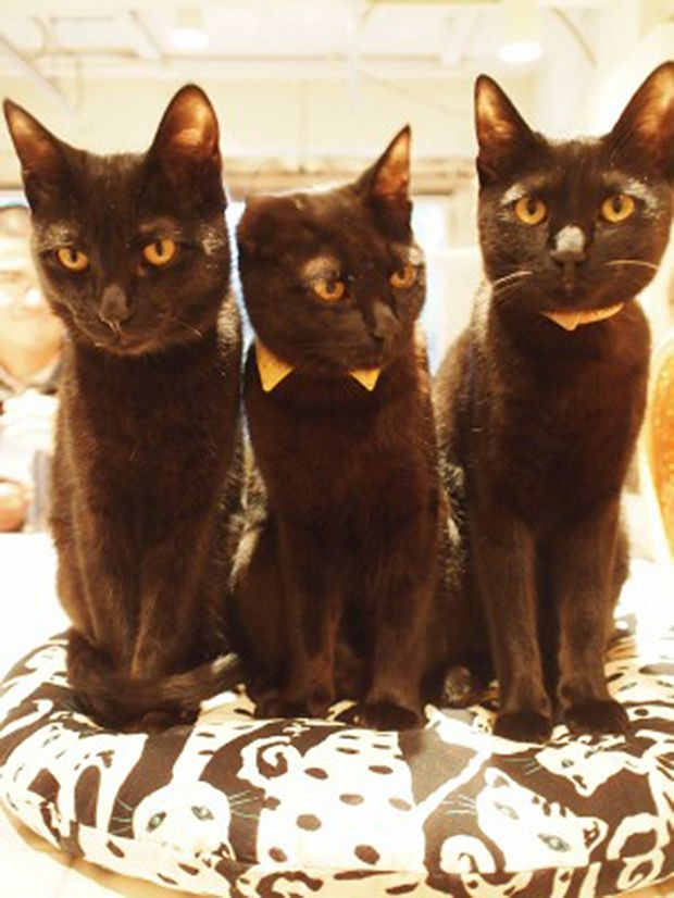 """Una cafetería de gatos negros  Halloween ya está a la vuelta de la esquina, y por todas partes se pueden ver arañas, esqueletos, calabazas y gatos negros. En la ciudad de Himeji, prefectura de Miyagi, existe el """"Cat Café Nekobayaka black"""". Es el primer café en Japón dedicado exclusivamente a estos felinos de pelaje azabache. Sus clientes pueden disfrutar de su café, o merienda, mientras juegan con estos simpáticos animales.  http://www.japonpop.com/2015/10/una-cafeteria-de-gatos-negros/"""