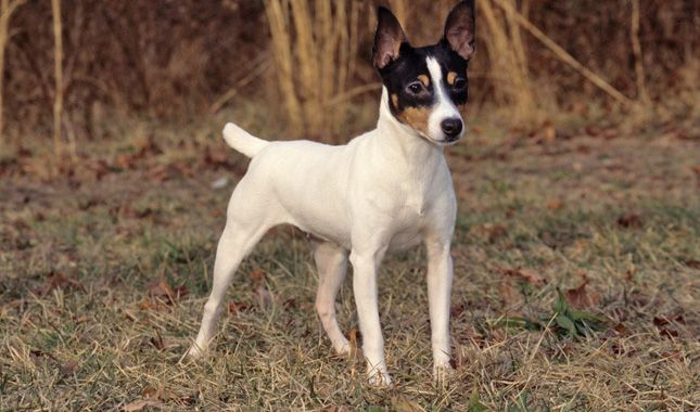 Everything you want to know about Toy Fox Terriers, including grooming…