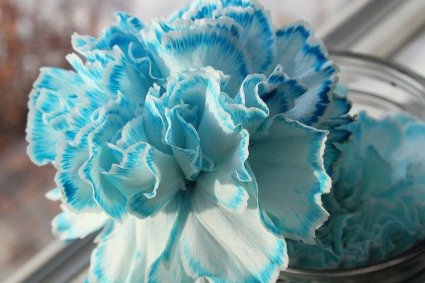 Rainbow Carnations Science Experiment