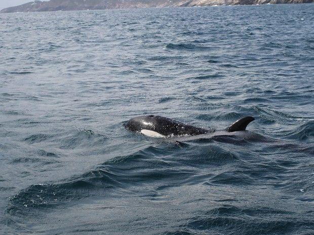 Orca em Arraial do Cabo (Foto: Ruan Simas/Arquivo pessoal)