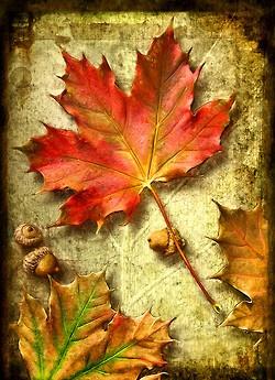 maple leaf and acorns