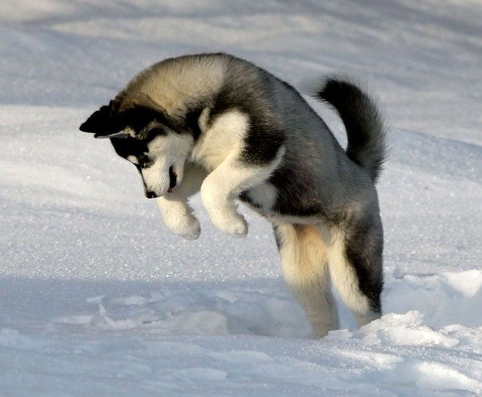 A Siberian Husky Puppy Is My Dream Dog Besides The Ones I Already
