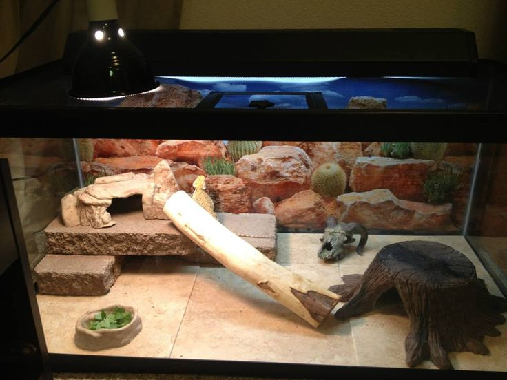 how to clean my beardies tank