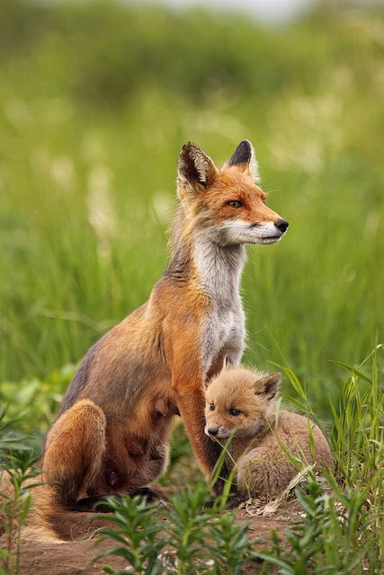 Red Fox adult and kit