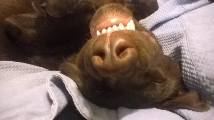 Kyllä voikin olla söpön näköinen tuo meidän pentu kun nukkuu... :D