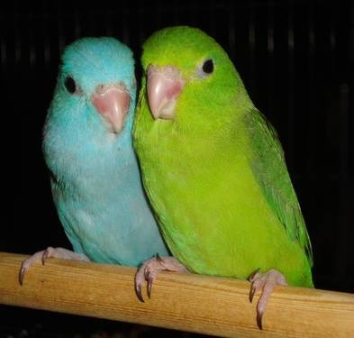 baby parrotlets i really want a blue one parrotlets pinterest bird and pet birds. Black Bedroom Furniture Sets. Home Design Ideas
