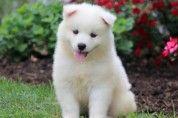 Samoyed Puppy: Andy