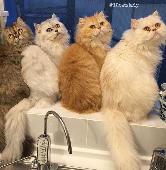 персидские кошки фото 4 (684x700, 461Kb)