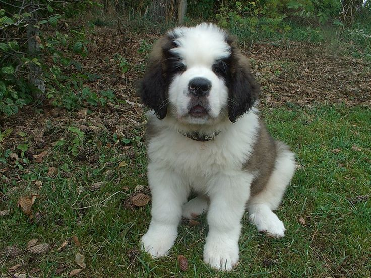 #vetsSheppey The St. Bernard is a much-loved breed today. He's versatile, good-natured, and a fine choice for the person or family who would like a large but gentle dog with moderate exercise needs.