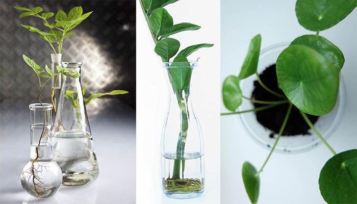 Nu är det äntligen stickling-säsong igen! Men vilka sticklingar ska rotas i vatten och vilka ska direkt i jord? Och hur tar man sticklingar från olika växter? Här är allt du behöver veta!