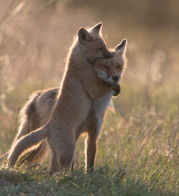 These playful red fox cubs reared up to each other in a bid to create a social pecking order within their den
