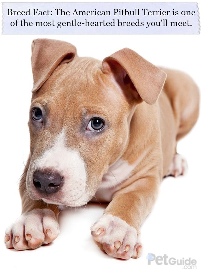 Breed Fact: The American Pitbull Terrier is one of the most gentle-hearted breeds you'll meet.