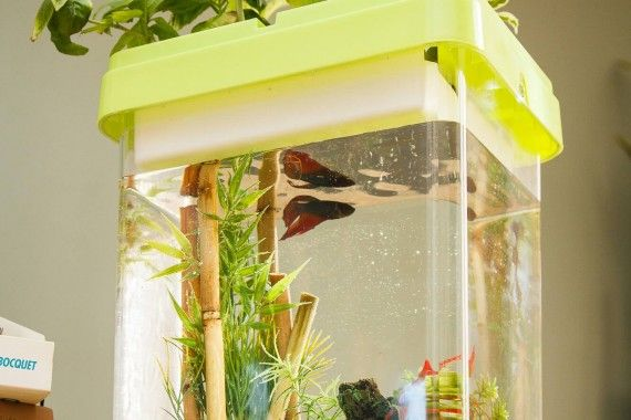 Ozarium est un petit aquarium pour poisson betta combattant. Un cadeau original pour vos proches ou vos enfants, Ozarium est sans entretien !