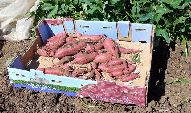 10 tips for growing amazing sweet potatoes