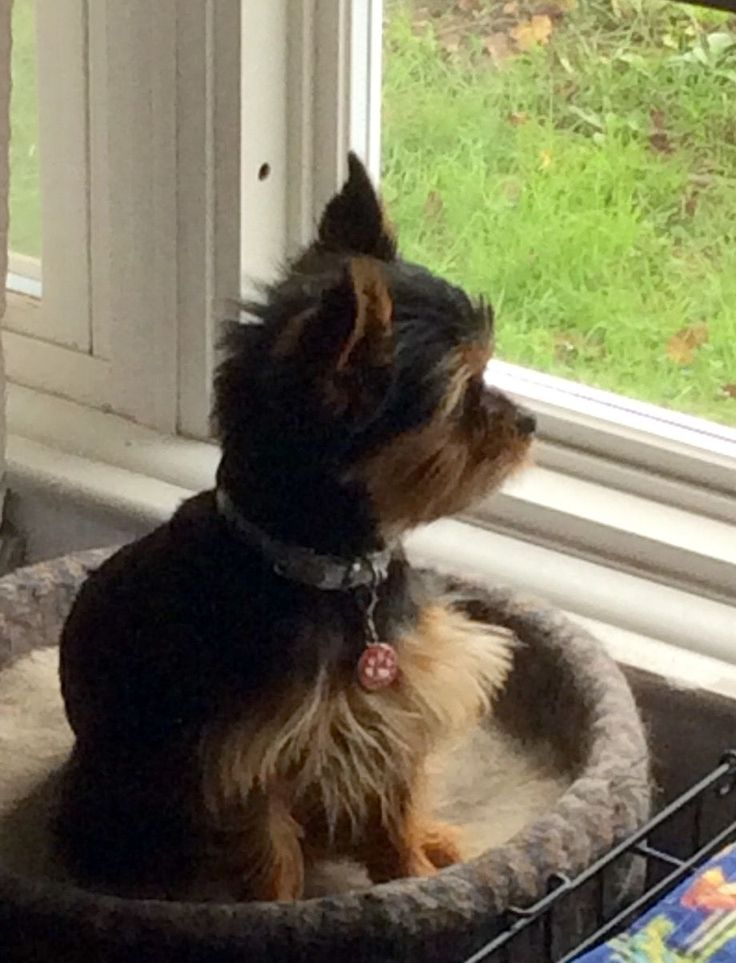 Black and tan Yorkie
